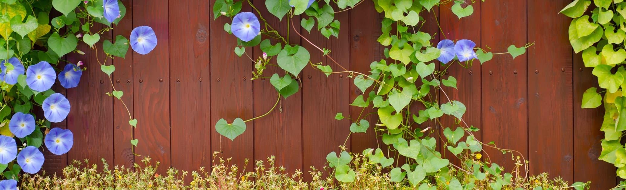 climber plants on a garden fence