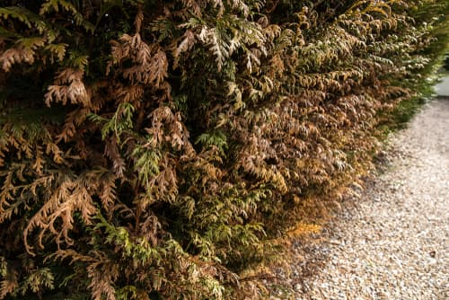 dying thuja hedge that is turning brown