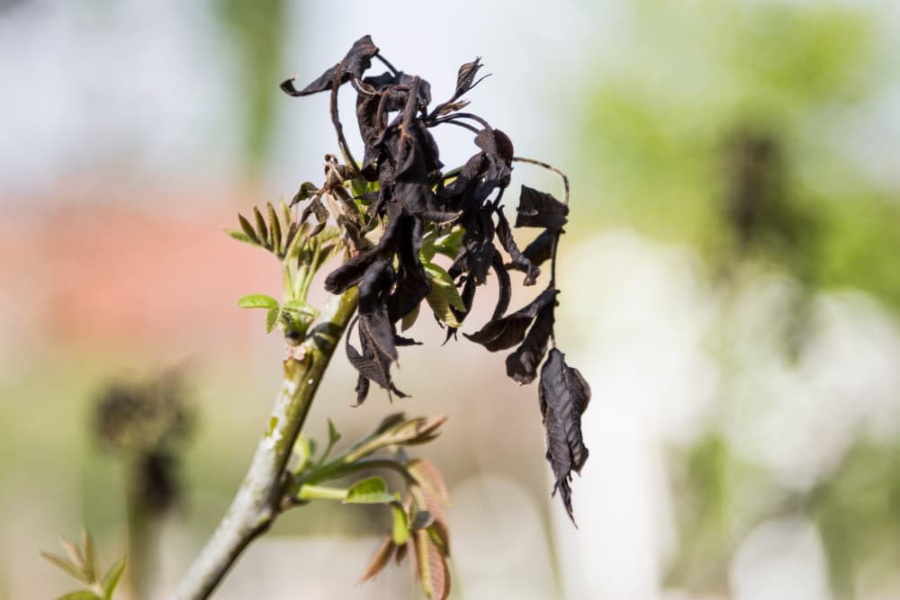 a fruit plant damaged by frost