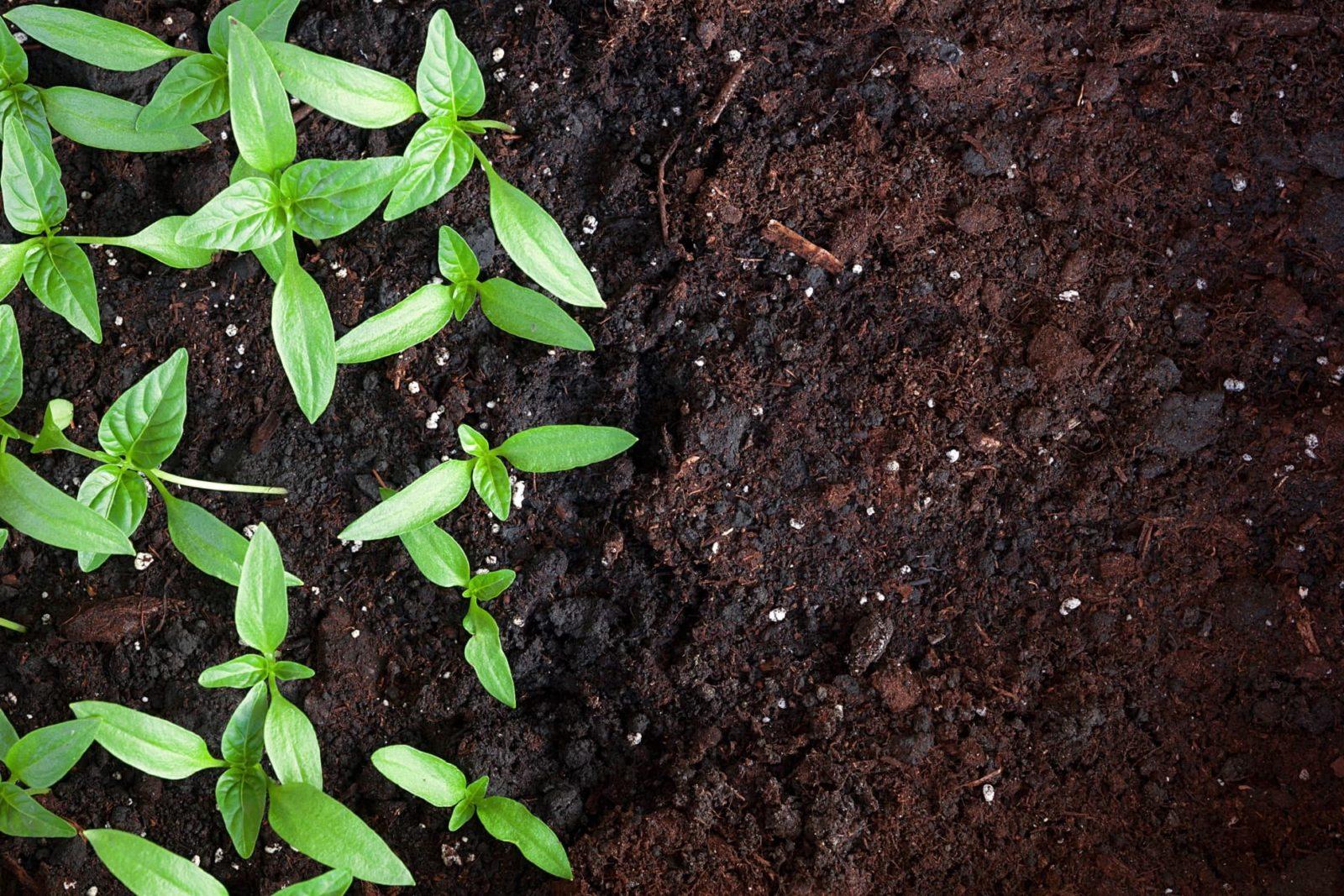 seedlings growing in compost