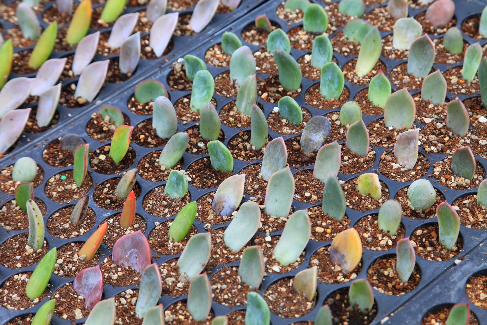 propagation of succulent leaf cuttings in peat-free compost