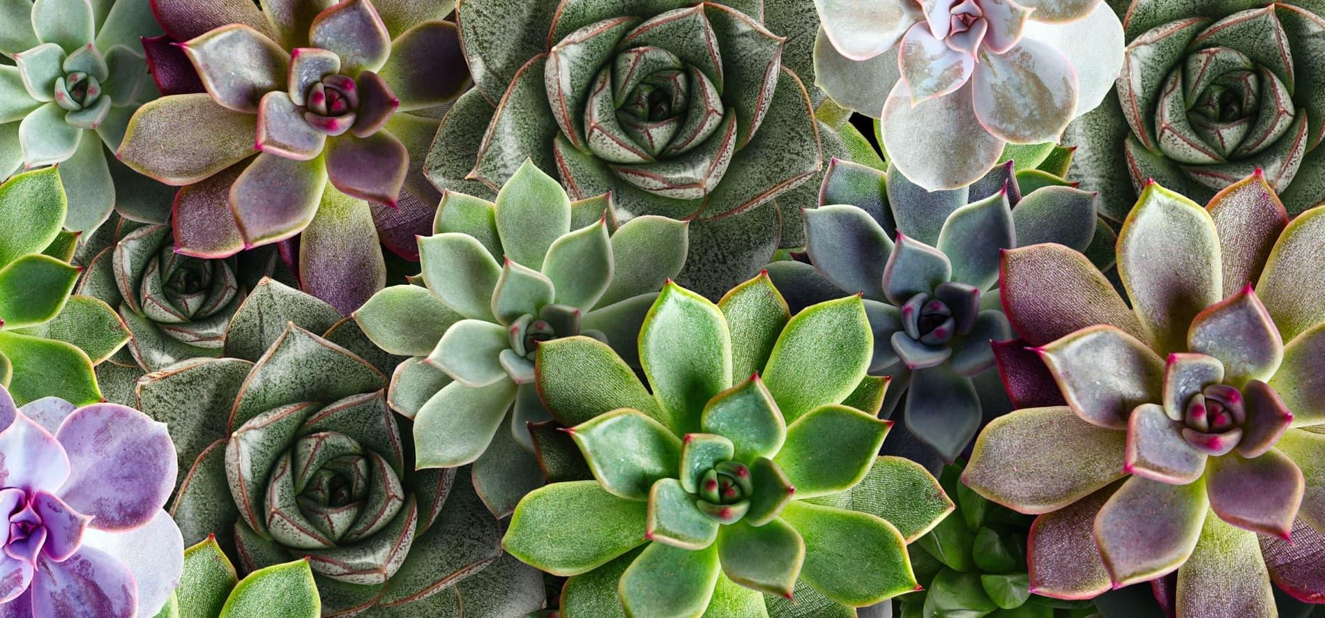 huge range of succulent plants
