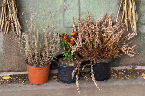 wilted heather in pots