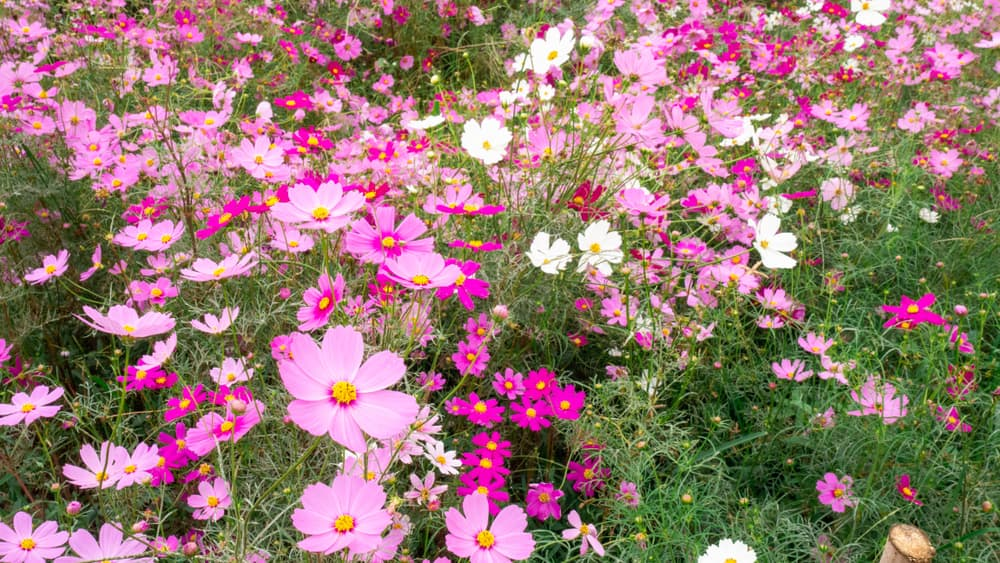 Colourful pink and white cosmos flowers in a garden