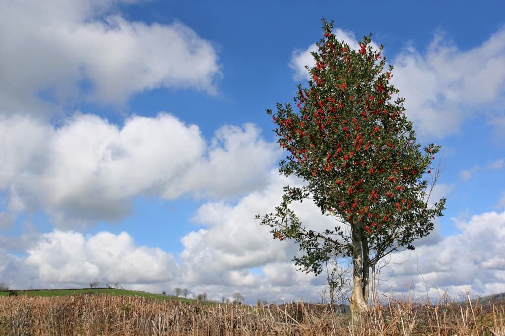 a large holly tree in a field