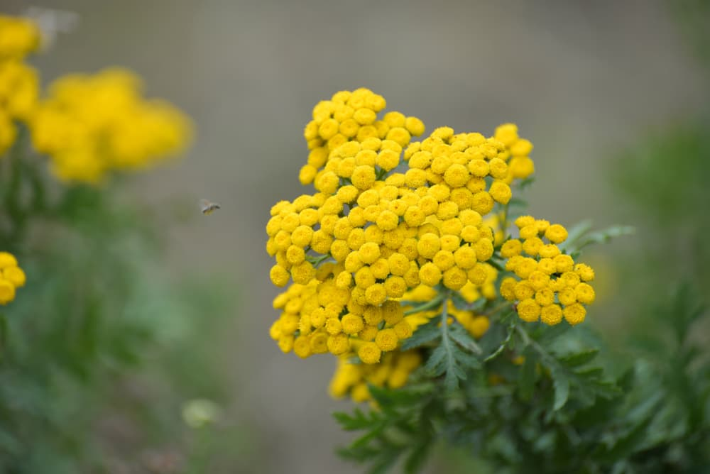 yellow achillea with insects flying nearby