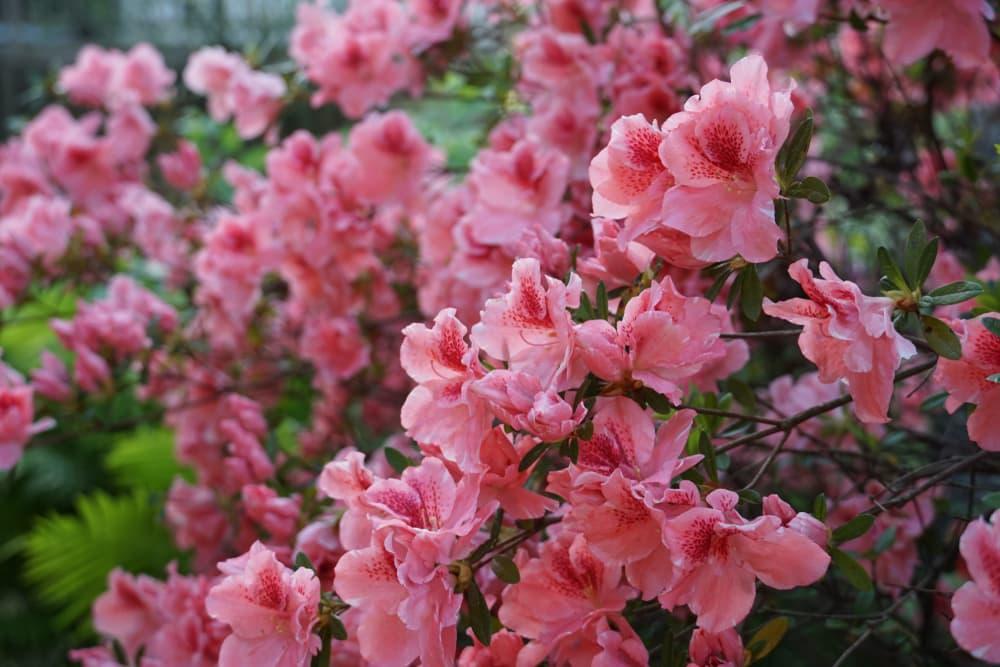 bright pink autumn belle azalea bush
