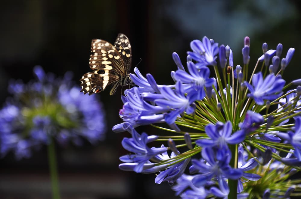 butterfly resting on agapanthus flowers
