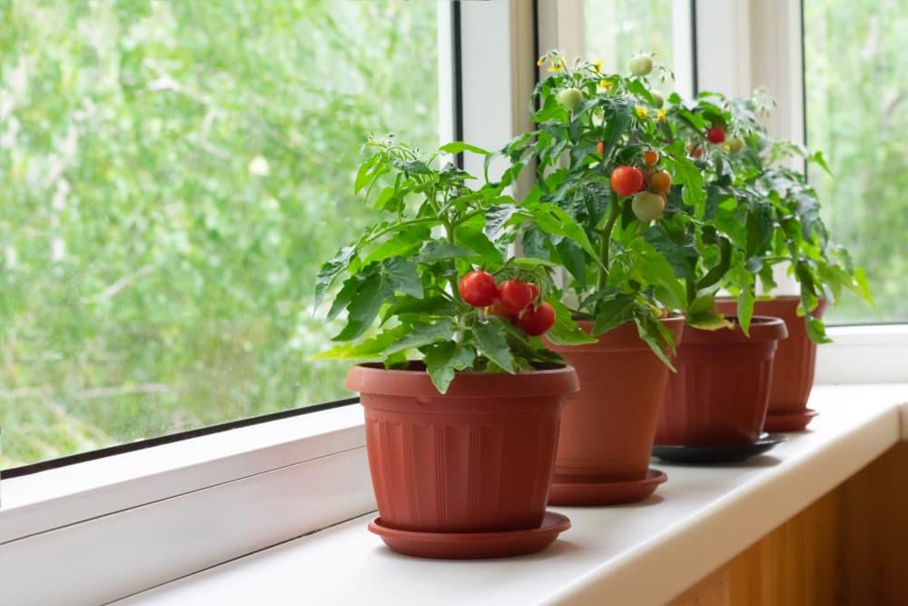 tomato plants growing on a windowsill
