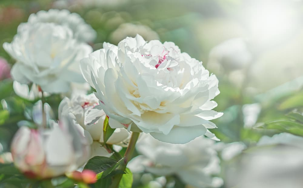 white peonies in the sunshine