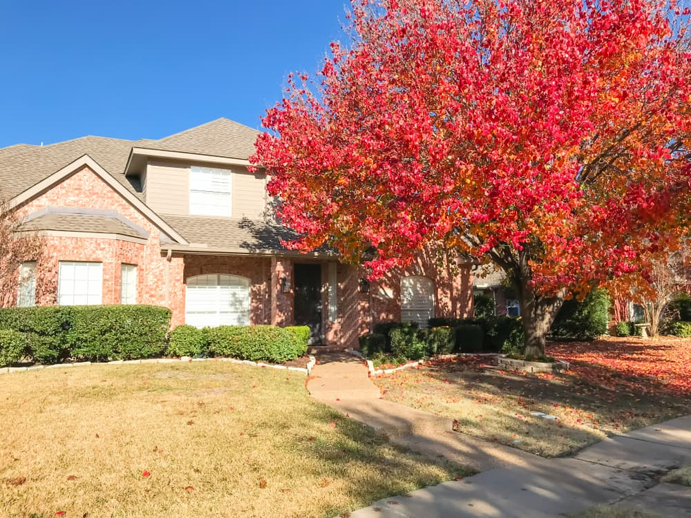 Callery pear ttree in fall next to a Texan house