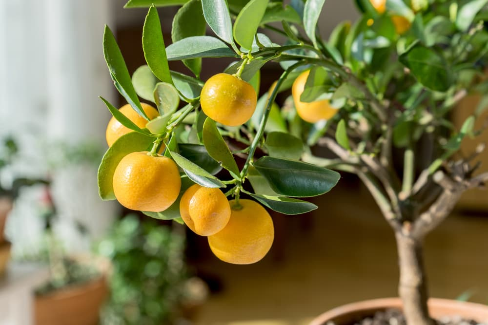 small orange tree in a pot