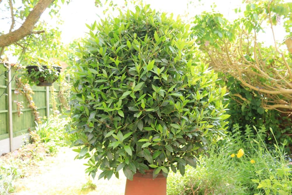 bay tree in a terracotta pot