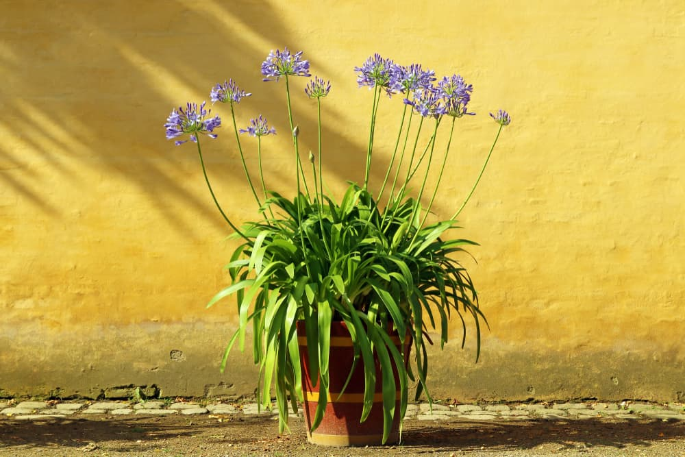 agapanthus in a single wooden planter