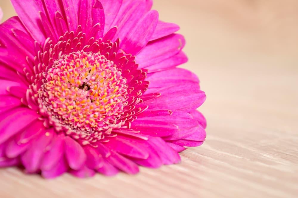 large pink flower Gerbera Garvinea
