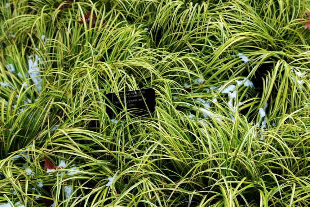 evergreen sweet flag grass