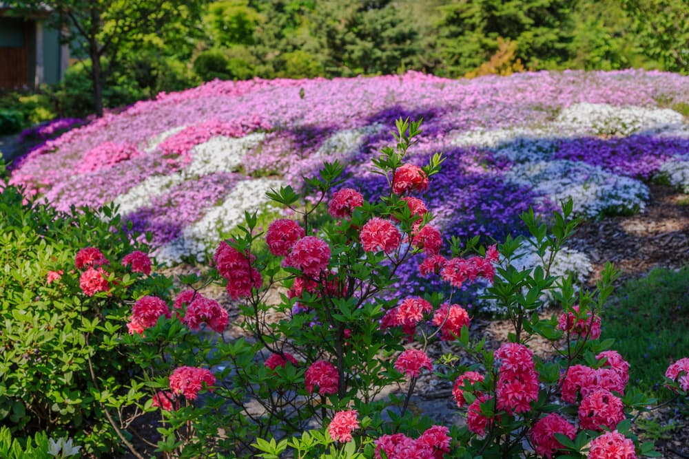 Phlox and rhododendron in an alpine garden