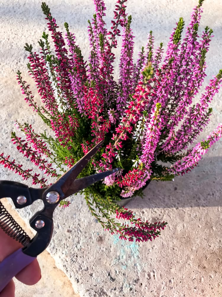 pruning heather with shears