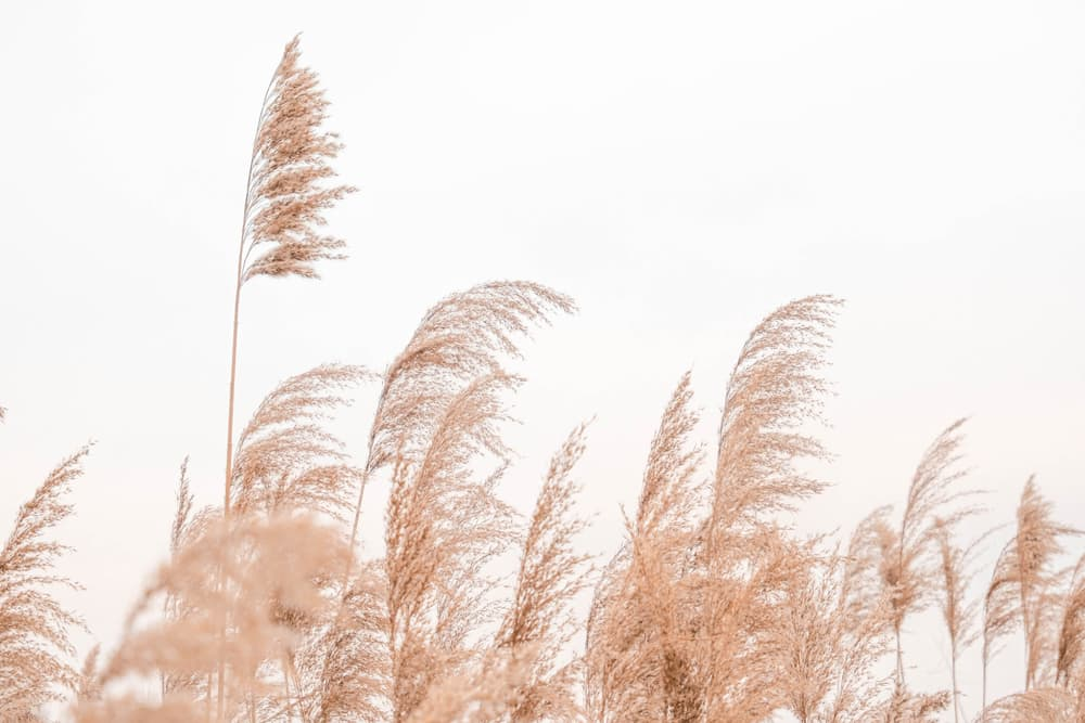 pampas in pastel colours