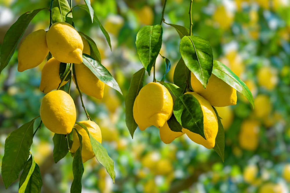 lemons hanging from branches