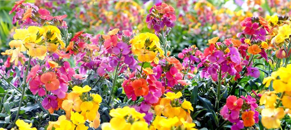 yellow, purple and red wallflowers