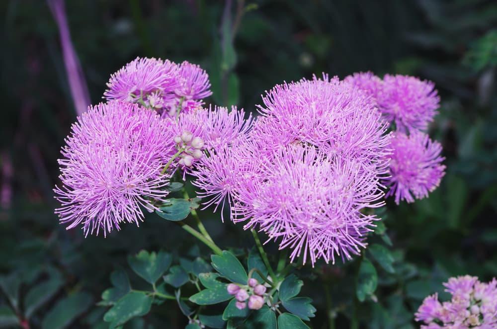 bright purple meadow rue blooms
