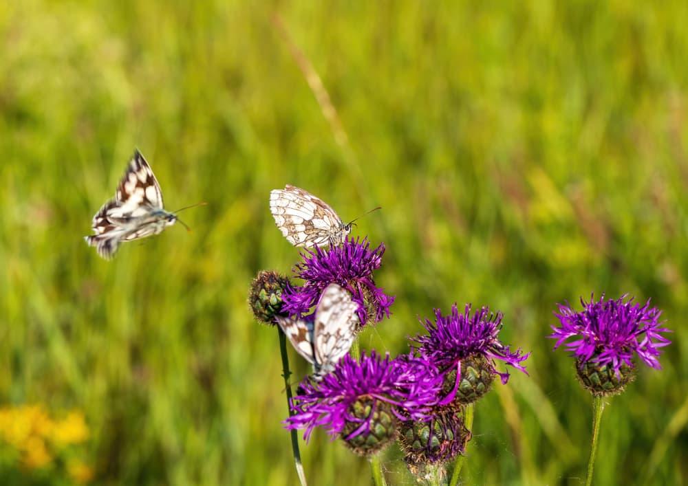 butterflies enjoying scabiosa plants in a meadow