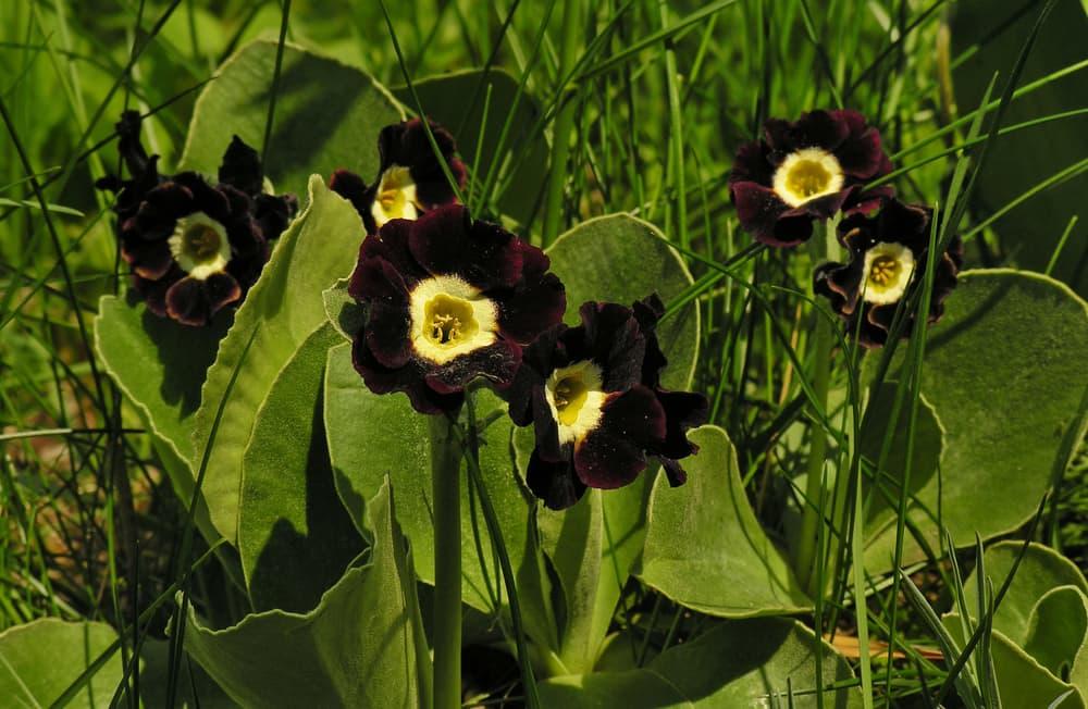 black primula auricula in a garden