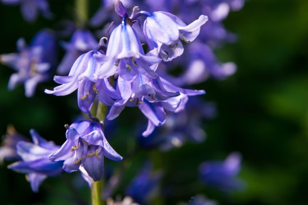 springtime bluebells