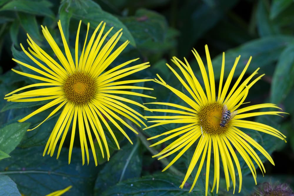 Hooker inula with a wasp sat on the flower