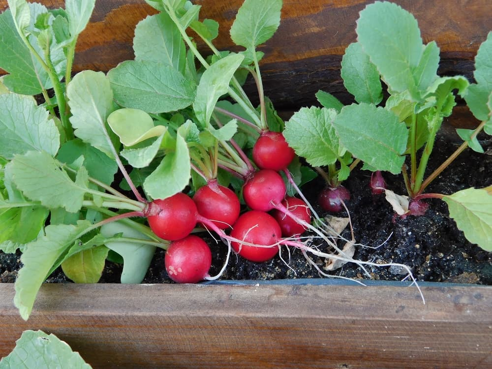 bright red radishes in a trough planter
