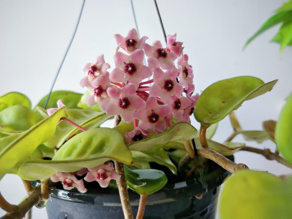 pink hoya plant in a black planter