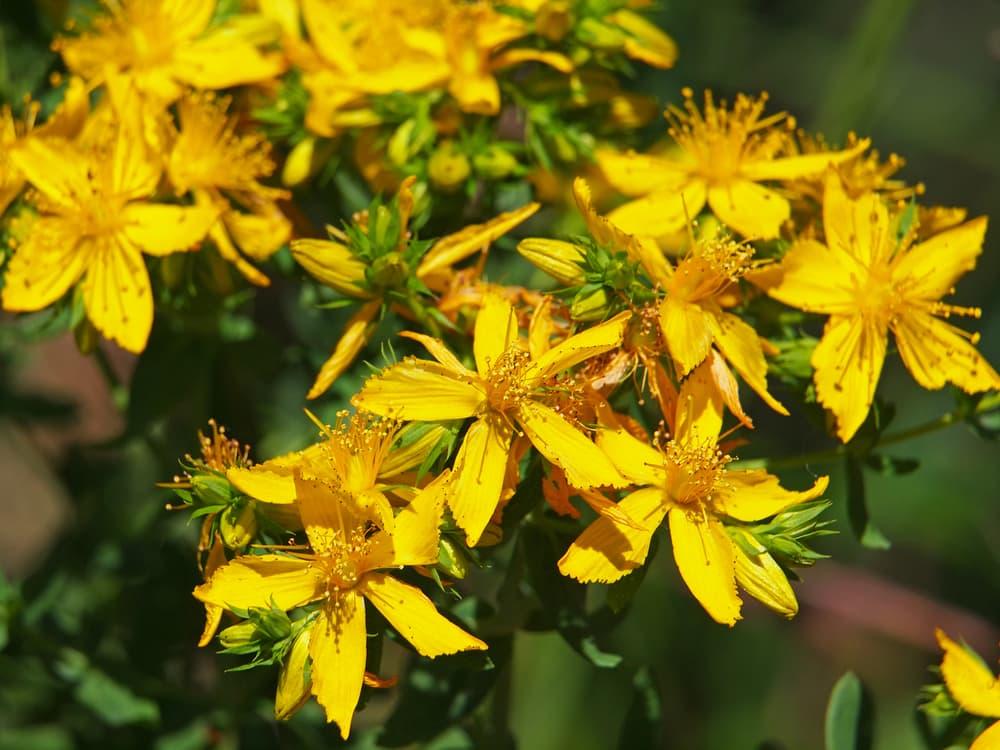 bright yellow Hypericum perforatum