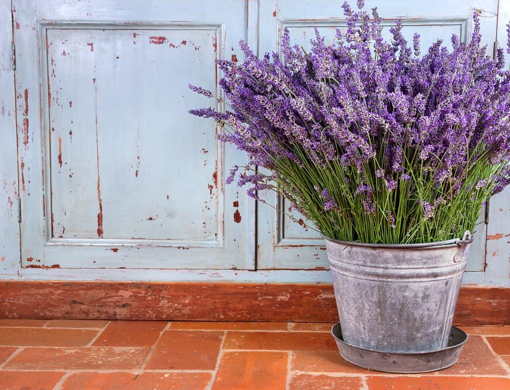 lavender in a metal pot