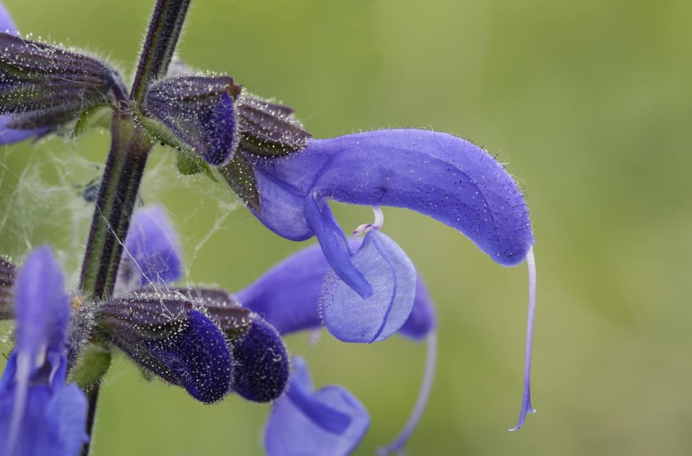 meadow clary flowers up close