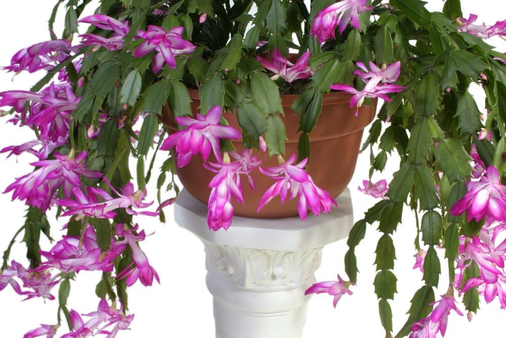 pink flowers and green foliage of Schlumbergera bridgessii