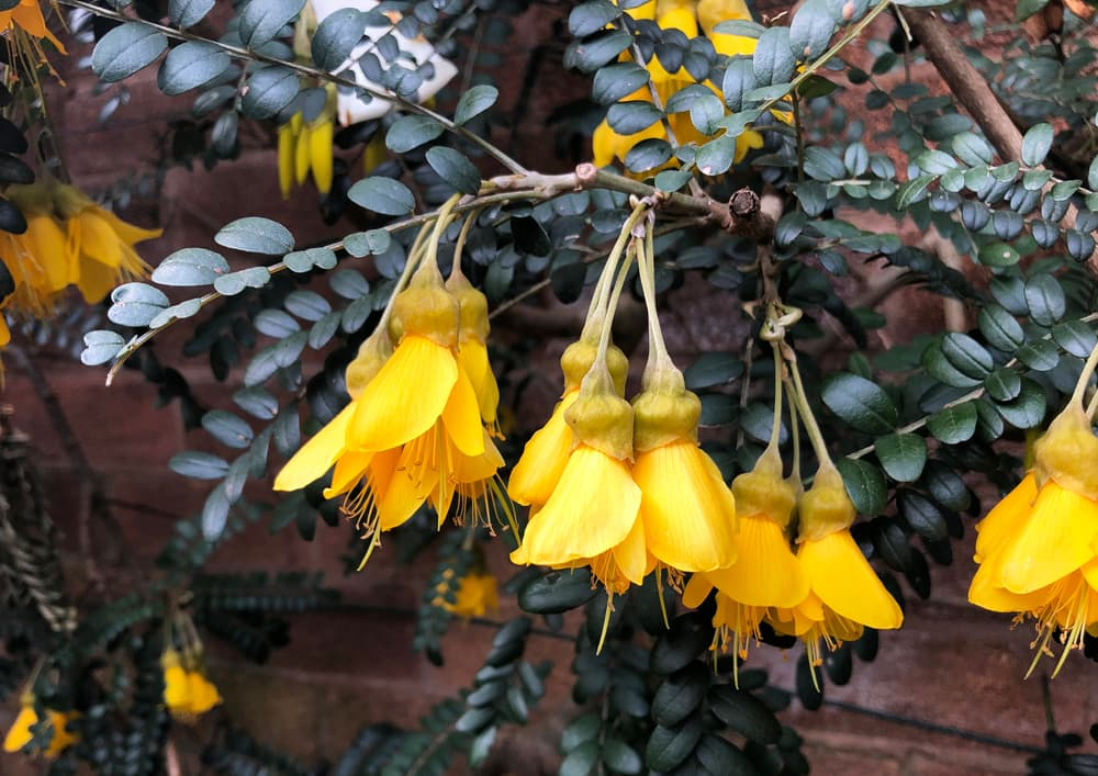 yellow hanging flowers of Sophora microphylla