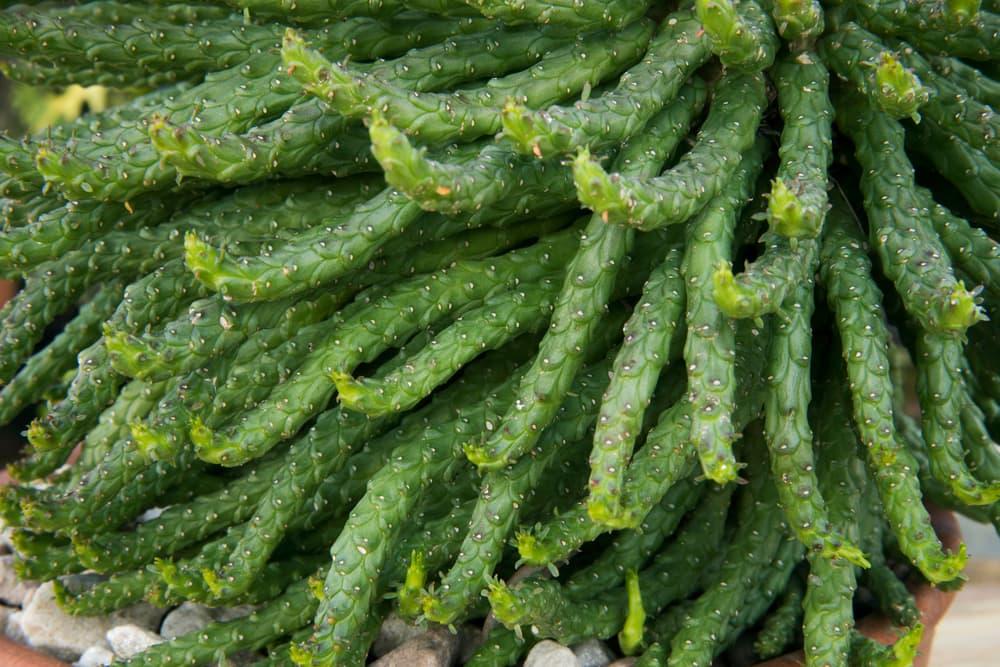 Euphorbia caput-medusae succulent