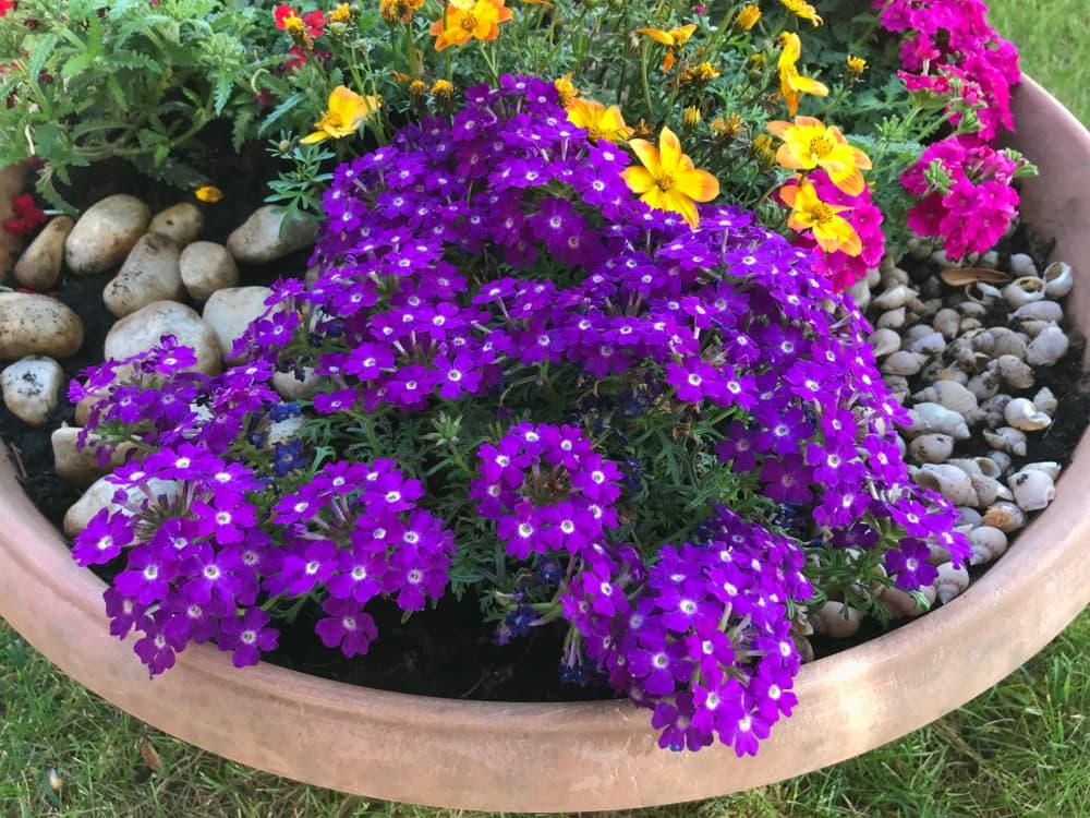 purple verbena tears of isis