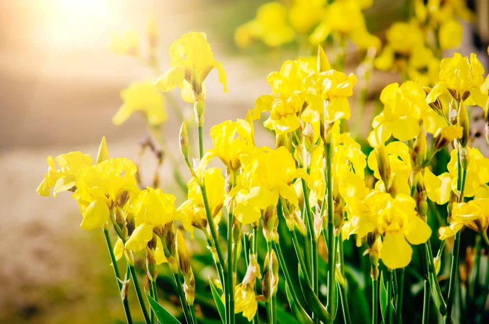 Iris germanica in a garden