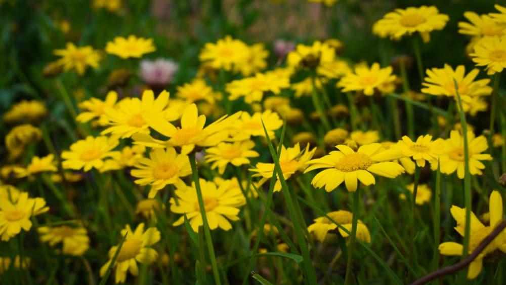corn marigold in bloom
