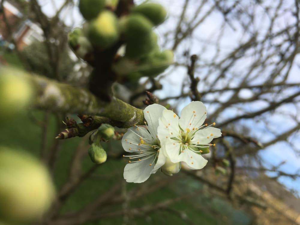 white blossom on a czar tree