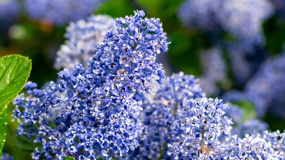 blue buddleja bushes