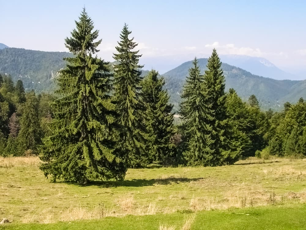 norway spruce trees with hills tin the background