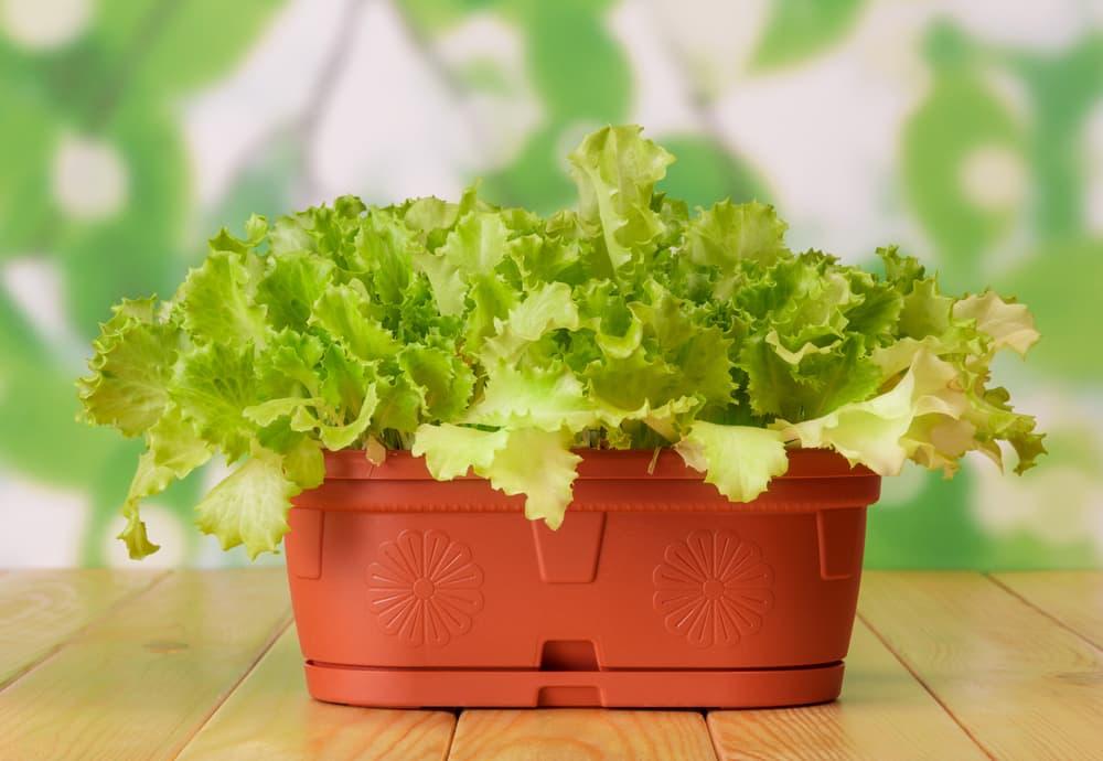 lettuce plant in a small plastic pot