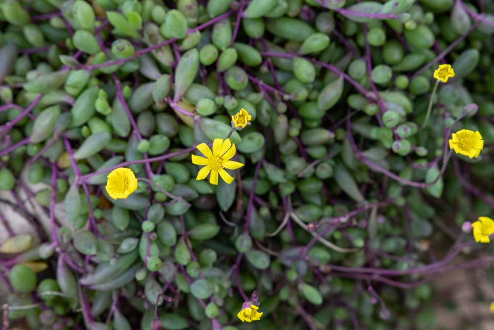 Ruby Necklace succulent