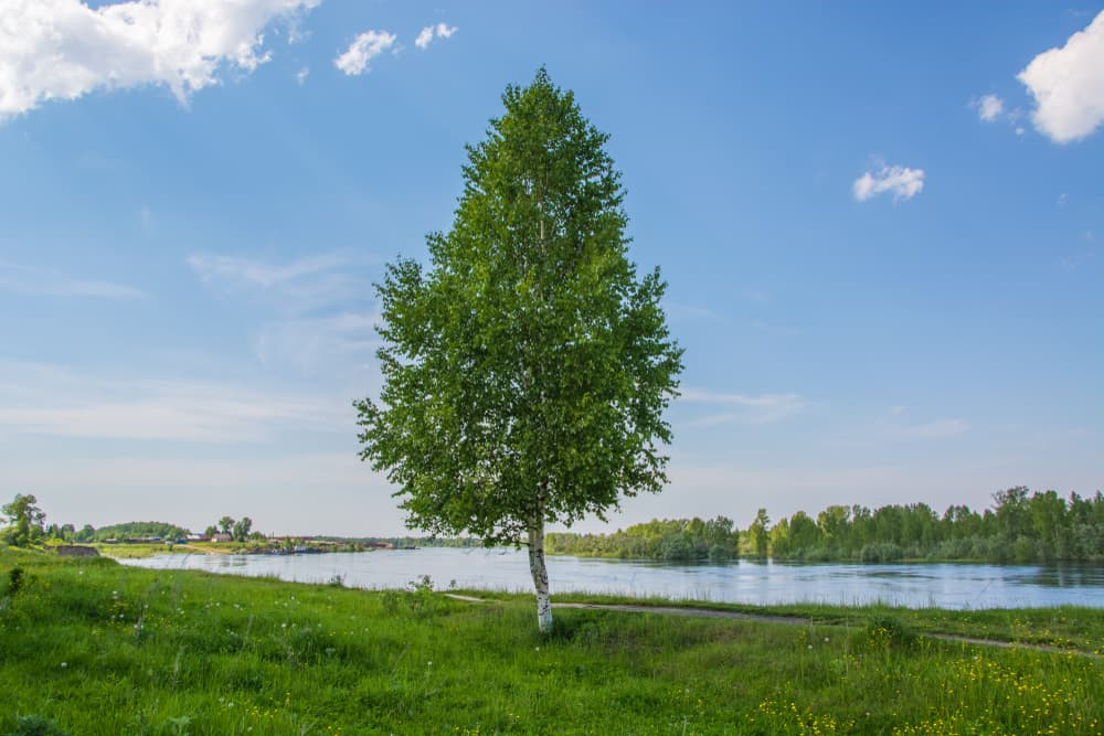 birch tree on a river bank