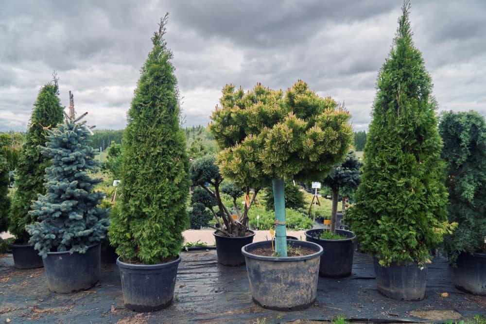 coniferous trees in plastic pots