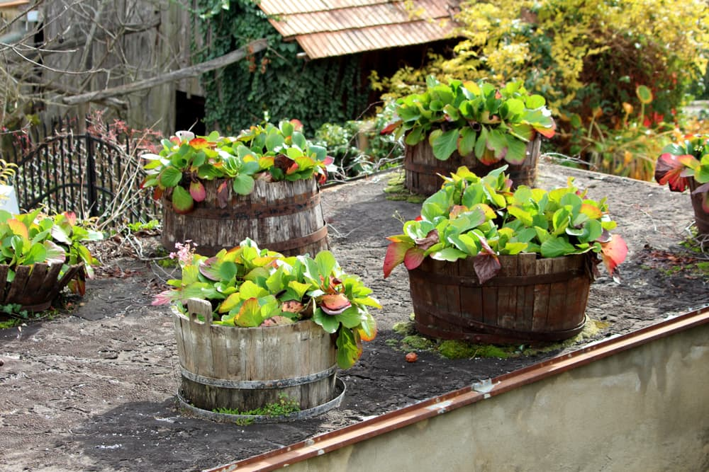 Elephant eared saxifrage in barrel planters