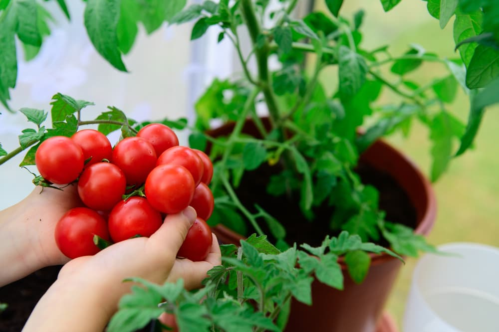 bunch of tomatoes harvested from a plant